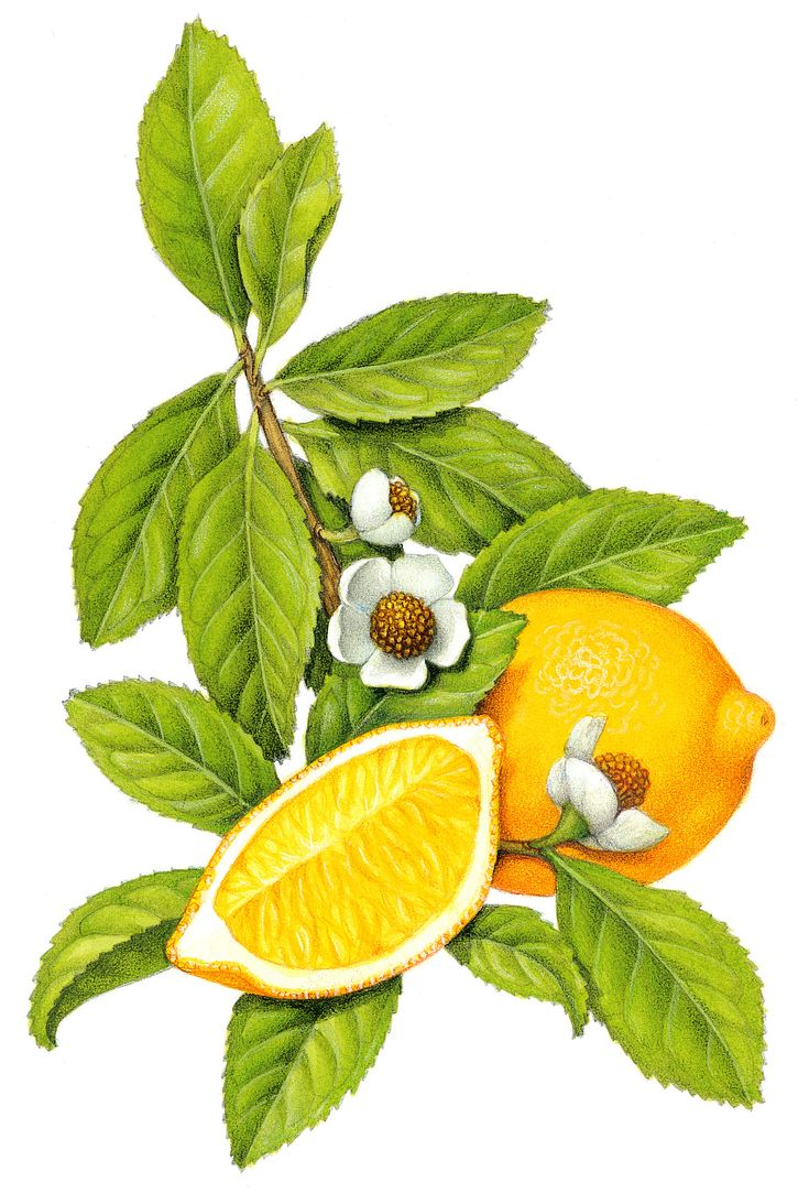 Botanical illustration of tea with a whole lemon and a lemon slice.