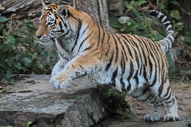 siberische tijger antwerpen zoo