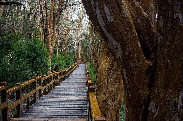 Los arrayanes son un tipo de árbol que sólo crece en zonas de bosque templado en Argentina y Chile. En una isla del lago Nahuel Huapi,La Isla Victoria,  el bosque de arrayanes alcanza una densidad poco usual. Con su color castaño y anaranjado, el bosque tiene un aspecto que hasta se hace de cuento, y dicen que allí se inspiró W.Disney para crear la película Bambi