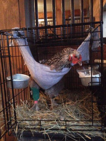 Hen with broken leg - near hock. | Chicken barn, Pet ...
