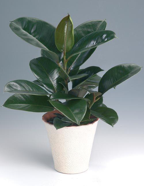 Fönsterfikus, Ficus elastica | Interior - Plants | Ficus ...