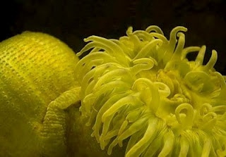 Sea Anemones: Sea Anemones, Butter, Yellow, Animal