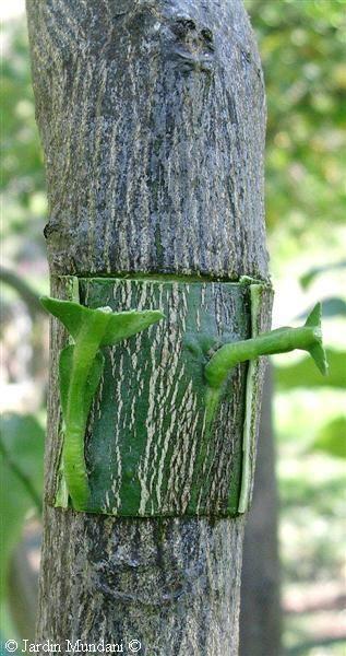 Lo frecuente es cosechar frutas híbridas a base de injertos de ramas en los árboles o de polinizar artificialmente. Pero también es posible hacer crecer frutales que tengan ramas perfectamente diferenciadas de dos especies distintas.  Lo único necesario es que pertenezcan a la misma familia. En la huerta murciana es muy habitual ver naranjos-limoneros. A veces, la intención del injerto es aprovechar el buen arraigo de la raiz de un árbol para que sustente al fruto. El pistacho, por ejemplo…