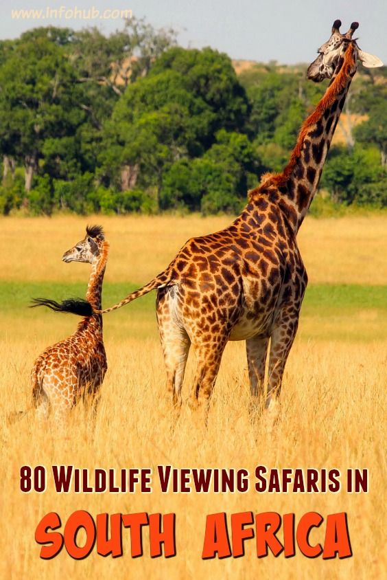 Wildlife Viewing Safaris in South Africa: If a wild thing makes your heart sing and you long for an up-close view of leopard spots and Technicolor-like landscapes caught with your own eyes more than any other form of leisure, then you should give yourself a treat and check out the tours below to explore wildlife waiting to be observed on your next holiday trip.