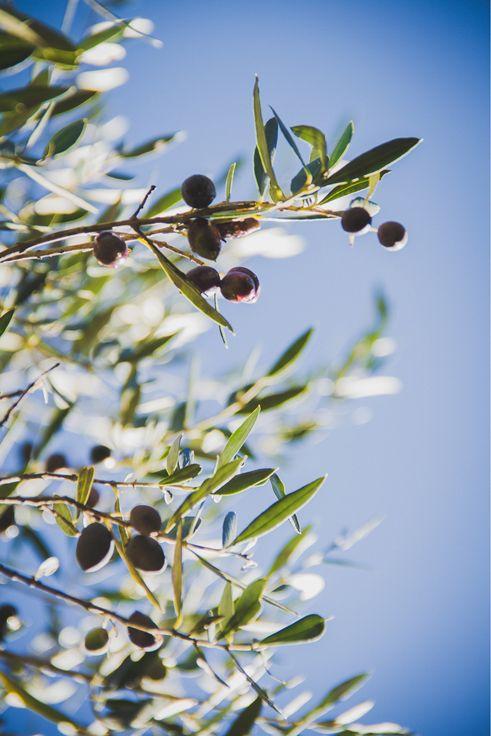 Dans les champs d'oliviers en Crète