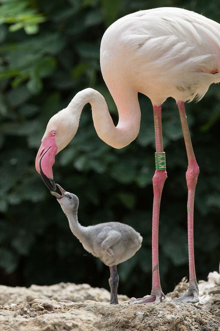 Flamingo mom feeding the baby.