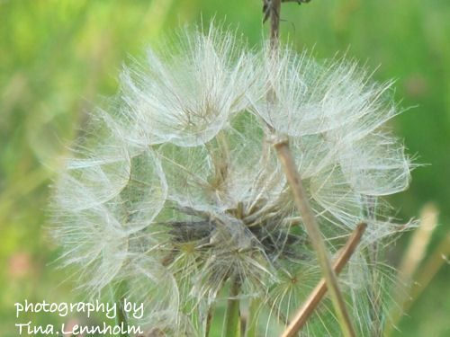 Dandelion has now blossomed over! Some of you may not like this over blossom, but feel how pure it is and catch the wind and seeds in the air <3 <3