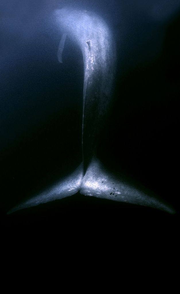Blue Whale in dark waters