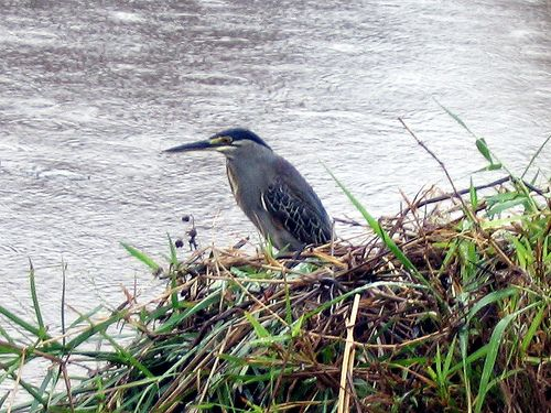 Green backed heron in the Kruger Park
