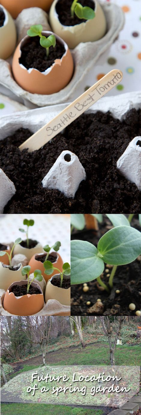 How to reuse egg shells in the garden and use them as seed pots