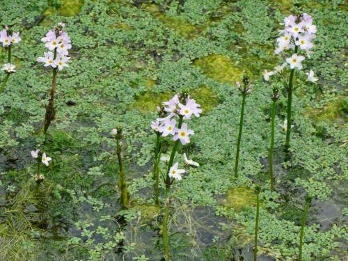 """morigrrl:  """"Water violets  """""""
