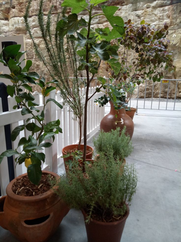 Tuscan pot plants - Lemon tree, lavender, rosemary, fig tree, mandevilla, euphorbia