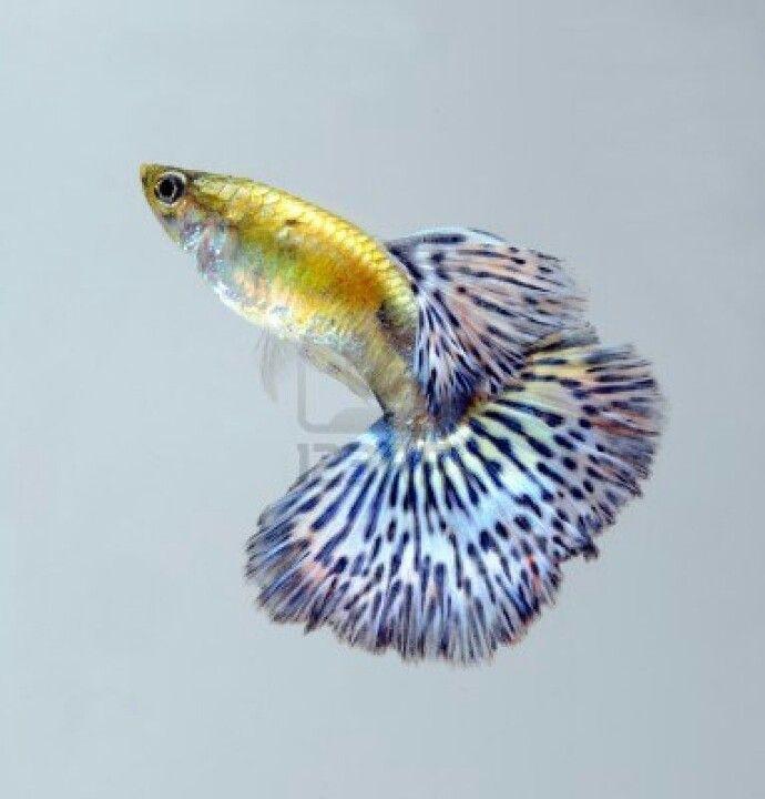 Precioso Pez Guppy http://www.animalesomnivoros.es/peces-omnivoros/