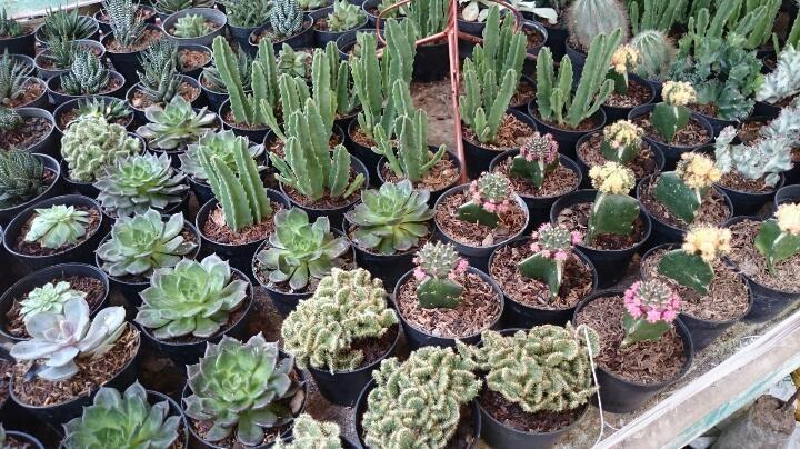 Tanaman Hias Kaktus | Lokalin