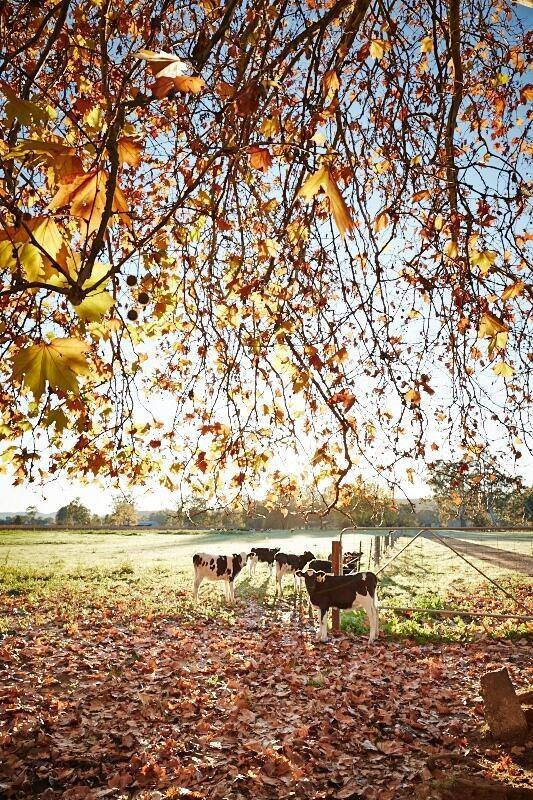 Autumn colour around Wangaratta.
