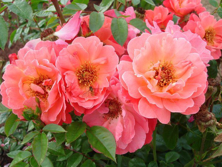 'Looking in your eyes'™ Floribunda ros. 40-60 cm hög. Stora semifyllda blommor med lätt doft. Väldigt vacker både sommar och vinter. Blommar från sommar till sen höst.