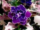 African Violet Blackberry Winter (LLG) plant - rare! The last one!