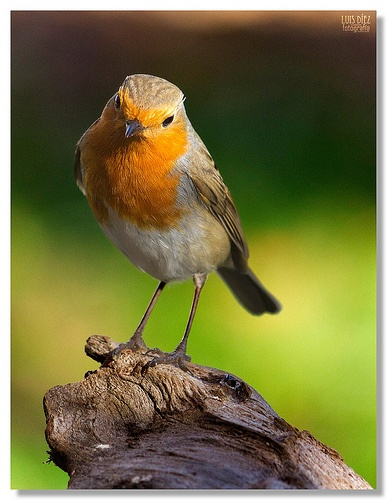Red Breasted Robin - Female
