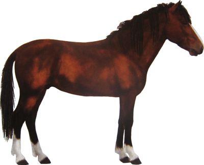 Le Bajau un poney originaire de la Malaisie