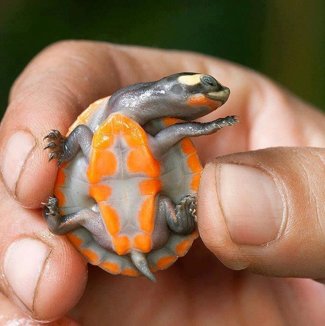The Red-bellied short-necked turtle or Jardine River turtle (Emydura subglobosa) is a species of turtle in the Chelidae family. It is found in Australia and Papua New Guinea.It is a endangered species of Australia. Majority of the time it is around shallow, muddy areas of water. Its cranial anatomy, embryogenesis, and skeletogenesis are well known.