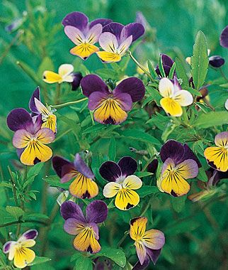 Johnny-Jump Up Viola Seeds and Plants, Annual Flower Garden at Burpee.com
