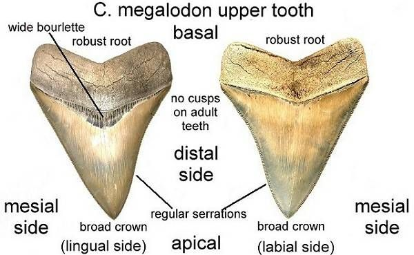 Megalodon Shark Facts and Information - Fossil Megalodon Size ...