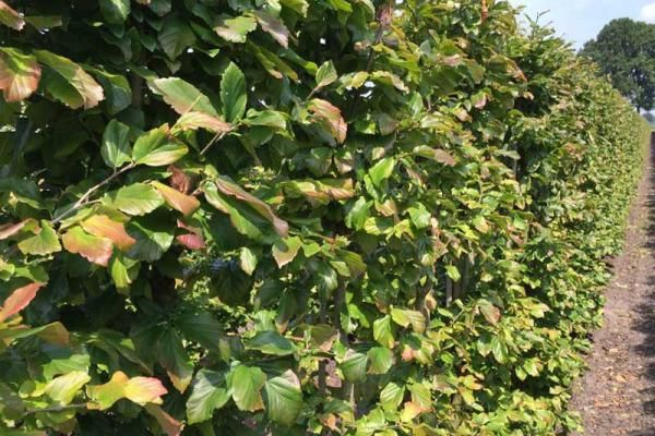 Persische parrotia (Parottia persica Vanessa)      De Persische parrotia (Parottia persica Vanessa) is een Nederlandse cultivar en wordt gekenmerkt door een rechte stam en ovale kroon. Deze cultivar kan dan ook uitstekend worden toegepast in groenstroken en lanen! De lichtgrijze stam heeft paarsbruine vlekken en langzaam loslatende, bijzonder decoratieve schorsplaten, dit laatste vooral bij de oudere bomen.