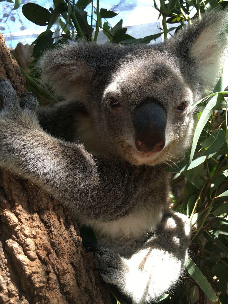 Most gorgeous koala