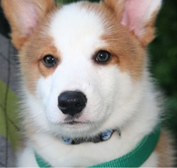 Pembroke Welsh Corgi Puppies Breeders Welsh Corgis