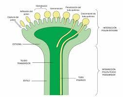 polinizacion fecundacion y germinacion de las plantas - Buscar con Google