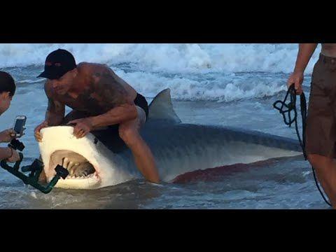 Squalo tigre dal dentista di mare!Topsail Beach,Carolina del Nord☀Tiger ...