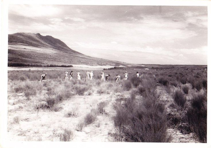 1930: Ginsberg encouraged his friends, a local doctor, Dr Le Fras Nortier, and a local farmer, Olaf Bergh, to experiment with propagating the never before cultivated wild Rooibos seeds. The plant's hard-shelled seeds proved quite tricky, but Nortier soon discovered that the seeds would germinate if they were cracked open first– imitating the effect of mountain fires in dry climates