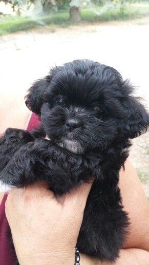 Teddy bear puppy (shih tzu/bichon frise) ... This is exactly what Wally looked like when we brought him home.  <3