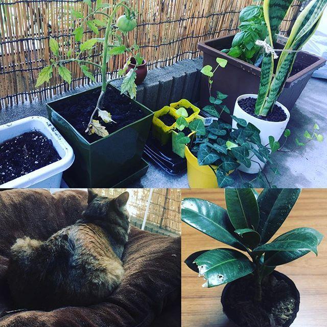 コウヤマファーム始めました‼️花💐 警備員にナナを任命したら早速仕事開始。(p_-)ジーーーっ #愛猫 #家庭菜園始めました #secom中👮 #朝顔 #パプリカ #トマト栽培 #オクラ栽培