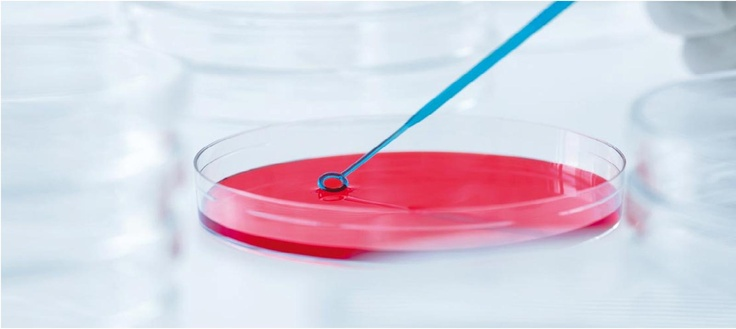 Streaking oral bacterial on blood agar plate using Kolle inoculating loop #OralHealth