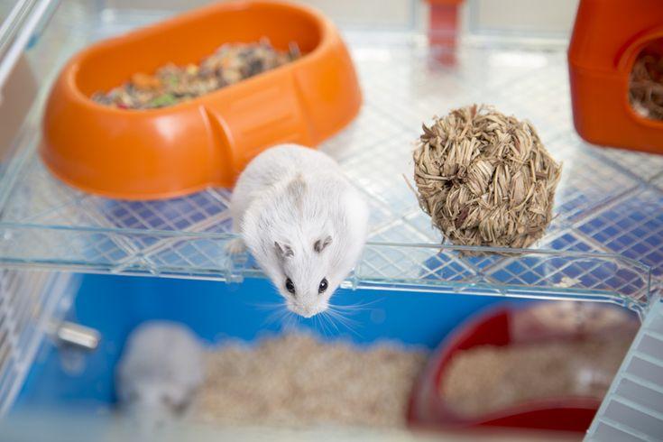 como educar um hamster acessórios