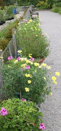 yellows and pink in summer pots