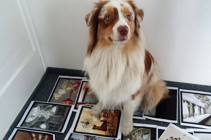 """Bruno, one of Sans Souci """"company"""" dog mascots helping to arrange design ideas in a new catalogue. A new book full of fresh classical and neo classical chandeliers is coming soon."""