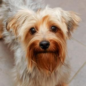 No longer available - Bella - Yorkshire Terrier Yorkie/Poodle mix - Des Moines, IA. 1 yr old