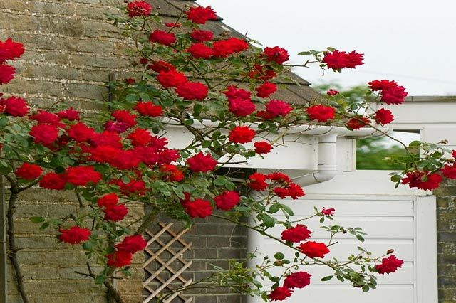 Fast Growing Roses Red Climbing Roses Climbing Roses Growing Roses