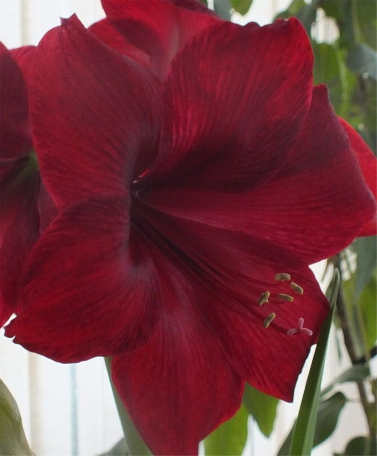 Best 36 amaryllis ideas on pinterest beautiful flowers for Amaryllis royal red entretien