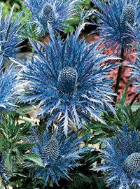 Metalic Blue Sea Holly   30 by SowBlessedSeeds on Etsy