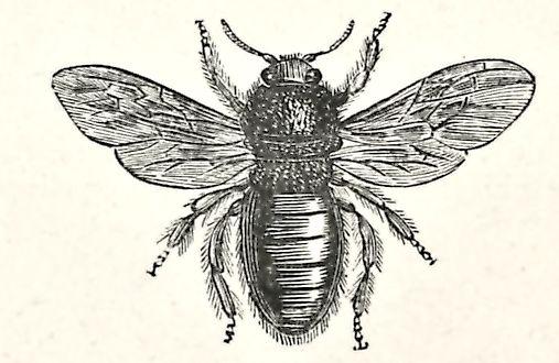 violet carpenter bee drawing - free download