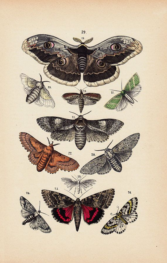 1880 Antique BUTTERFLY Print Hand Colored By TwoCatsAntiquePrints 1850