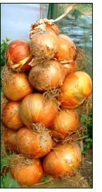 EVERYTHING you ever wanted to know about GROWING ONIONS. Seriously? the go-to site!! From planting seed, seedlings & sets thru different varieties, to storing. Even includes making an onion braid!!