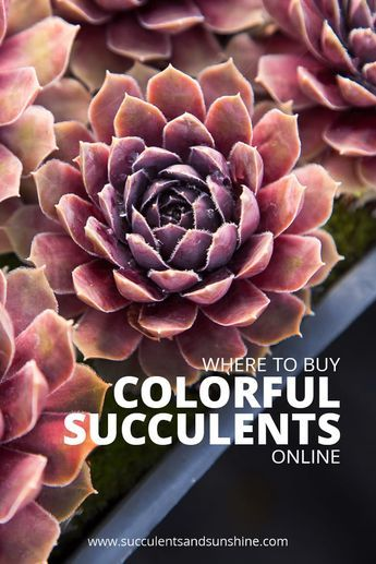 Looking to buy colorful succulents? Find out all the best places online to buy succulents. You'll find the selection varies greatly at each shop, but this post will tell you where to find the best deal as well as where to find the most unusual succulents. #buysucculents #succulents #succulentgarden #succulentlove #colorfulsucculents #succulentideas #succulenttips #succulentsforsale #indoorsucculents #outdoorsucculents #succulentsinpots #diysucculentsdecor #succulenthouseplants…
