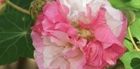 30 Best Images About Rose Of Sharon In Garden On Pinterest