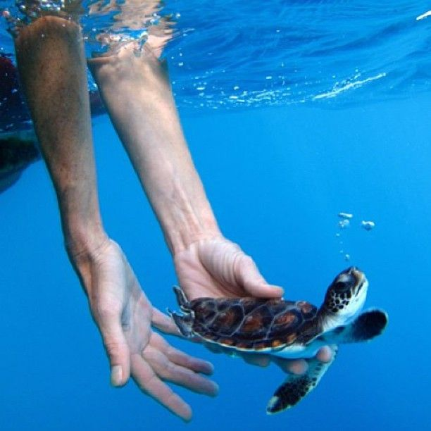 Release of a rehabilitated juvenile green turtle at Lord Howe Island