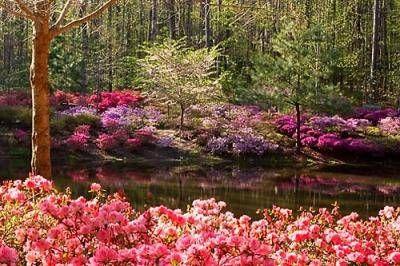 1000 images about dogwood and azaleas on pinterest - Callaway gardens pine mountain georgia ...