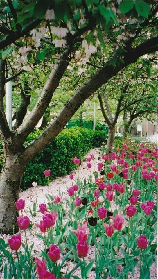 Contrastes de tulipes aux tiges vertes